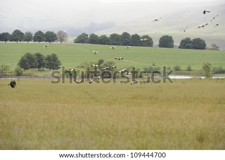 Cows and Cranes.  Crowned cranes fling over  farmlands in the southern Drakensberg, Kwazulu Natal, South Africa