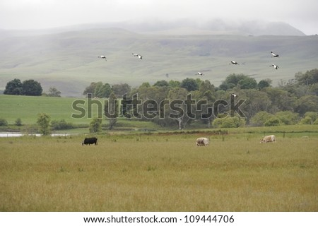 Cows and Cranes.  Crowned cranes fling over  farmlands in the southern Drakensberg, Kwazulu Natal, South Africa - stock photo