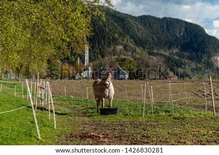 cows and goats in the farm, Norwegian farm #1426830281
