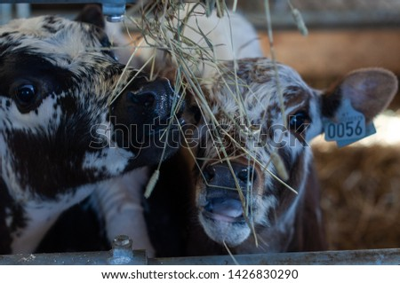 cows and goats in the farm, Norwegian farm #1426830290
