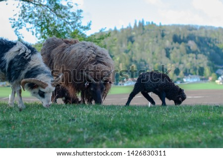 cows and goats in the farm, Norwegian farm