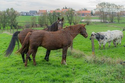 Cows and horses in harmony, farmer life, beautifull farm life.  Animals kingdom communication.  Horses and cows talking to each other.  Flanders beauty on the country side.  Animals enjoying life