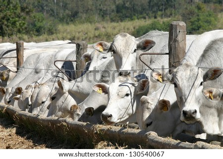 cows and ox feeding in a farm