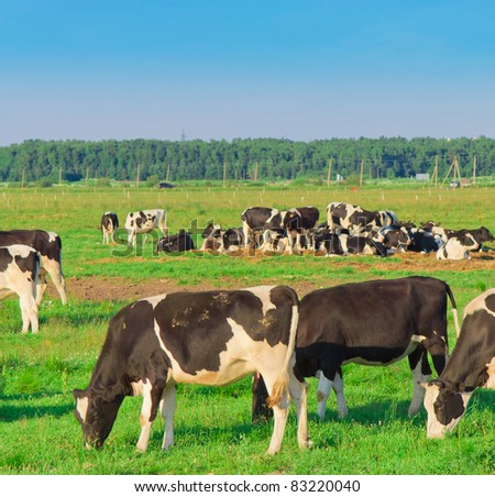 Cows Animals View