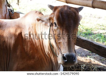 Cows are animals that have large hooves that are large pets #1424579090