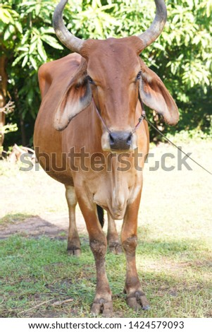 Cows are animals that have large hooves that are large pets. #1424579093