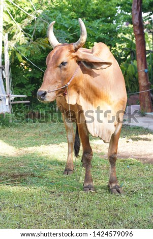 Cows are animals that have large hooves that are large pets.  #1424579096