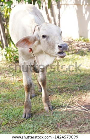Cows are animals that have large hooves that are large pets. #1424579099