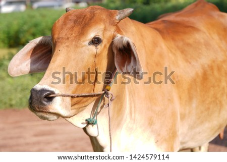 Cows are animals that have large hooves that are large pets.  #1424579114
