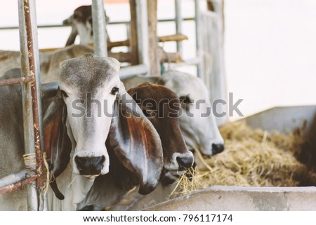 Cows are eating rice straw in a cowshed, livestock in Thailand #796117174