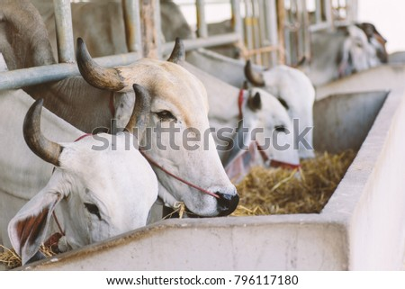 Cows are eating rice straw in a cowshed, livestock in Thailand #796117180