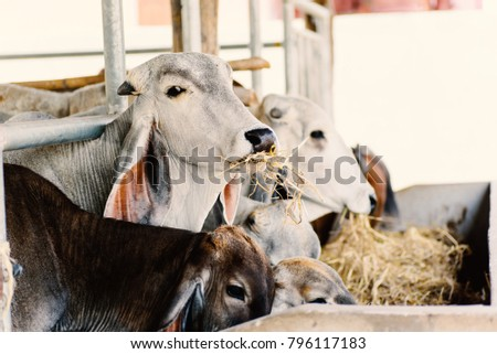 Cows are eating rice straw in a cowshed, livestock in Thailand #796117183