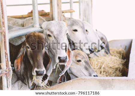 Cows are eating rice straw in a cowshed, livestock in Thailand #796117186
