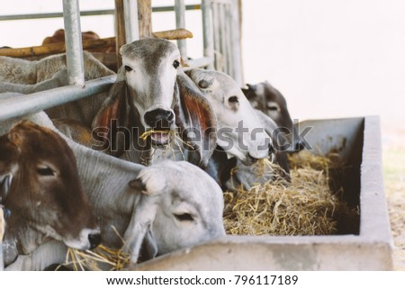 Cows are eating rice straw in a cowshed, livestock in Thailand #796117189