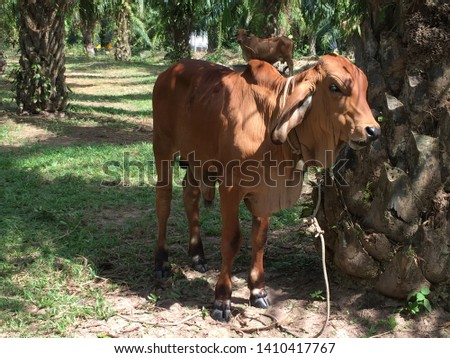 Cows are mammals. Herbivorous, Is a popular human animal. The cattle manure is used to make biological fertilizer. #1410417767