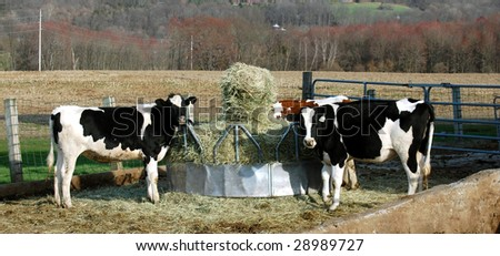 Cows at round bale feeder - stock photo