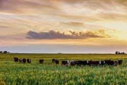 Cows at sunset in La Pampa, Argentina