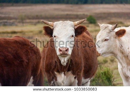 Cows, calves and gobies on pasture. Spotted cattle. The largest source of meat, dairy and leather industry. Blonde D'Activan breed on a meadow #1033850083