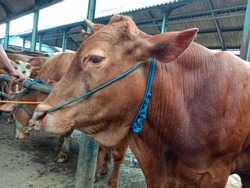 cows cry against the background of people at the animal market.