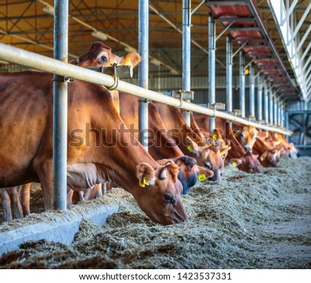 cows dairy breed of Jersey eating hay fodder in cowshed farm somewhere in central Ukraine, agriculture industry, farming and animal husbandry concept #1423537331