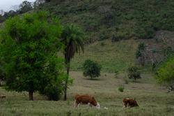 Cows eat in a field (San Luis Potosi, Mexico)