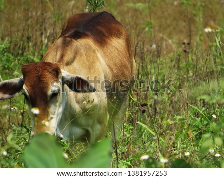 Cows eating grass in the fields #1381957253