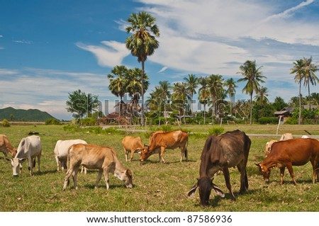 Cows eating the grass on the field in Thailand #87586936