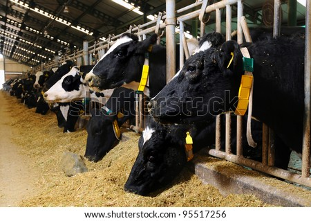 cows feeding in large cowshed