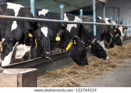 cows feeding in large cowshed on a farm