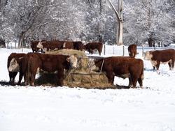 Cows feeding on hay at a farm during a snowy winter day.
