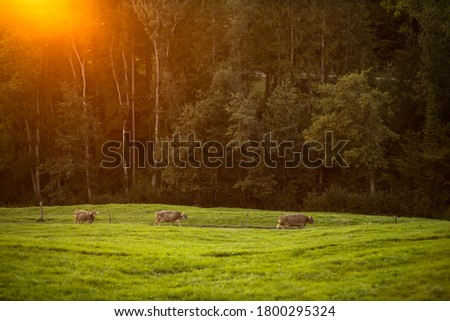 Cows going home from pasture at the close of the day - Regenerative farming concept/Grass fed beef Stock foto ©