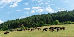 Cows graze in a meadow field near a green coniferous forest on the hills of the Rhodope Mountains. Livestock and cattle in Bulgaria. Beautiful rural landscape.