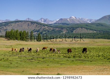 Cows graze in a mountain valley #1298982673