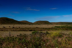 Cows grazing along the Abbotts  Lagoon trail, Point Reyes National Seashore, Marin County, California, USA,  on a clear day  and cloudless sky with lots of copy-space
