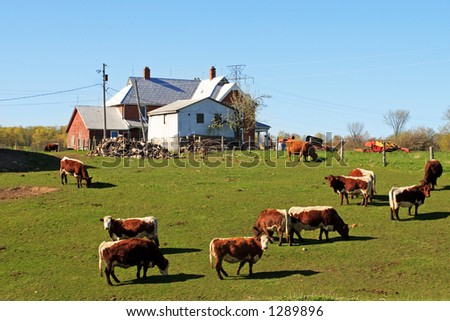 Cows grazing by a coumtry house.