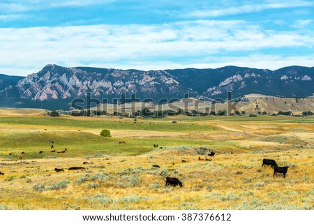Cows grazing in fields with the foothills to the Bighorn Mountains behind them near Buffalo, Wyoming #387376612