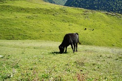Cows grazing in green meadow. Herd of domestic cows pasturing in lush valley on sunny day