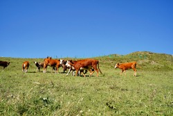 Cows grazing in green meadow. Herd of domestic cows pasturing in lush valley on sunny day under blue sky