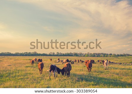 Cows grazing in green meadow. Summer landscape, retro color.