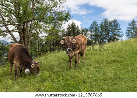 Cows grazing in hight altitude in the Allgau. Bavaria. Germany.