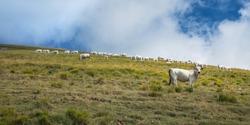 Cows grazing in the fields under Monte San Franco near Gran Sasso, L'Aquila.