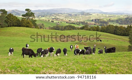 Cows grazing in the Towai district of North Island, New Zealand.
