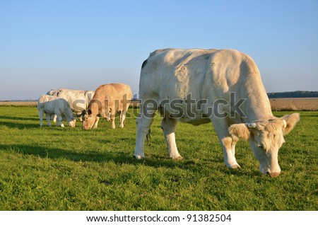 Cows grazing in the upper Normandy in France in light of sunset