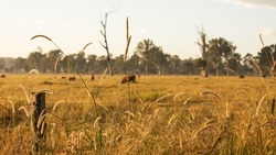 Cows Grazing on a Cattle Farm during the Sunrise in Outback Queensland Australia