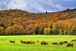 Cows grazing on a farmland on a beautiful autumn day - Green Mountains of Vermont, with Vermont landscape and fall colorful fall foliage on the background.