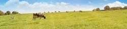 Cows grazing on a Field in Summertime - Cow Meadow Panorama