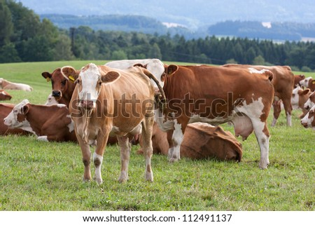 Cows grazing on a green field - stock photo