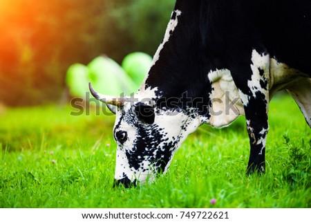 Shutterstock Cows grazing on a green field