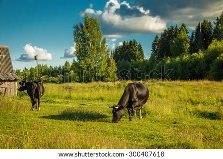 Cows grazing on a green meadow. Non-urban scene.