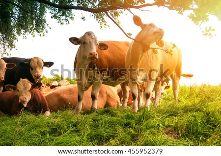 Cows grazing on a lovely green pasture #455952379
